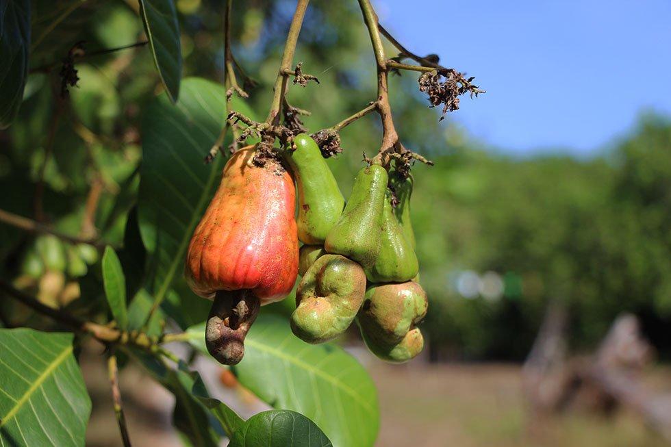 Cashewbomen op Koh Phayam