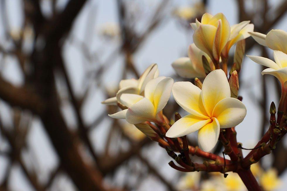 Petchaburi Bloemen