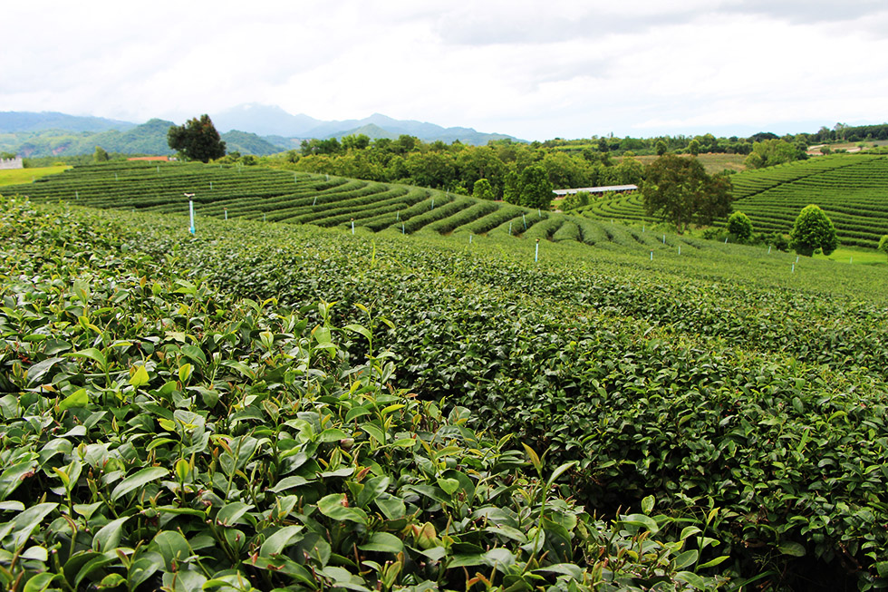Chouifong Tea Plantation