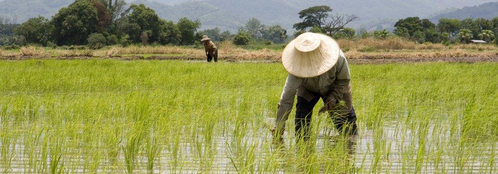 Rijst planten in Thailand - Thaise keuken