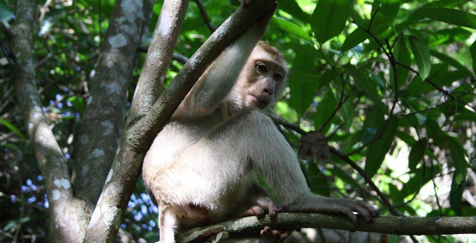 Aap in Khao Yai Nationaal Park