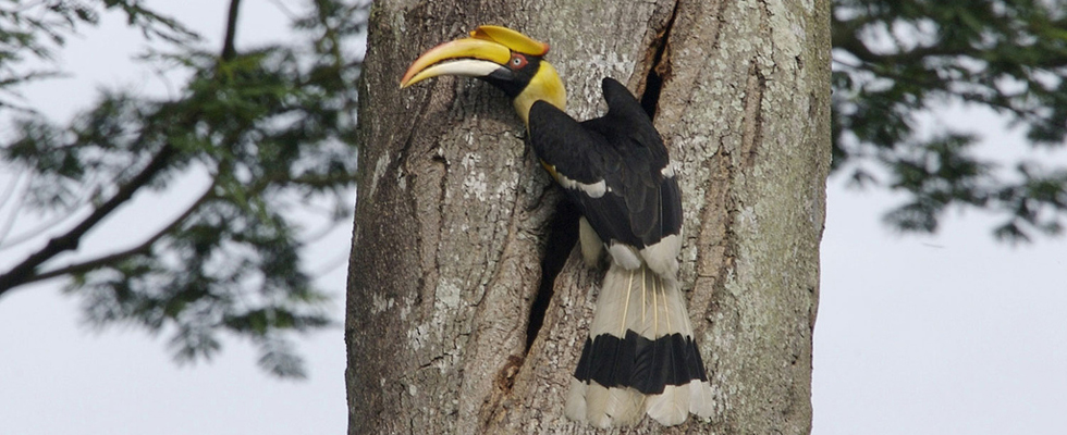 Great Hornbill Thailand - Khao Yai Nationaal Park