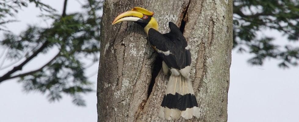 Great Hornbill Thailand - Khao Yai Nationaal Park