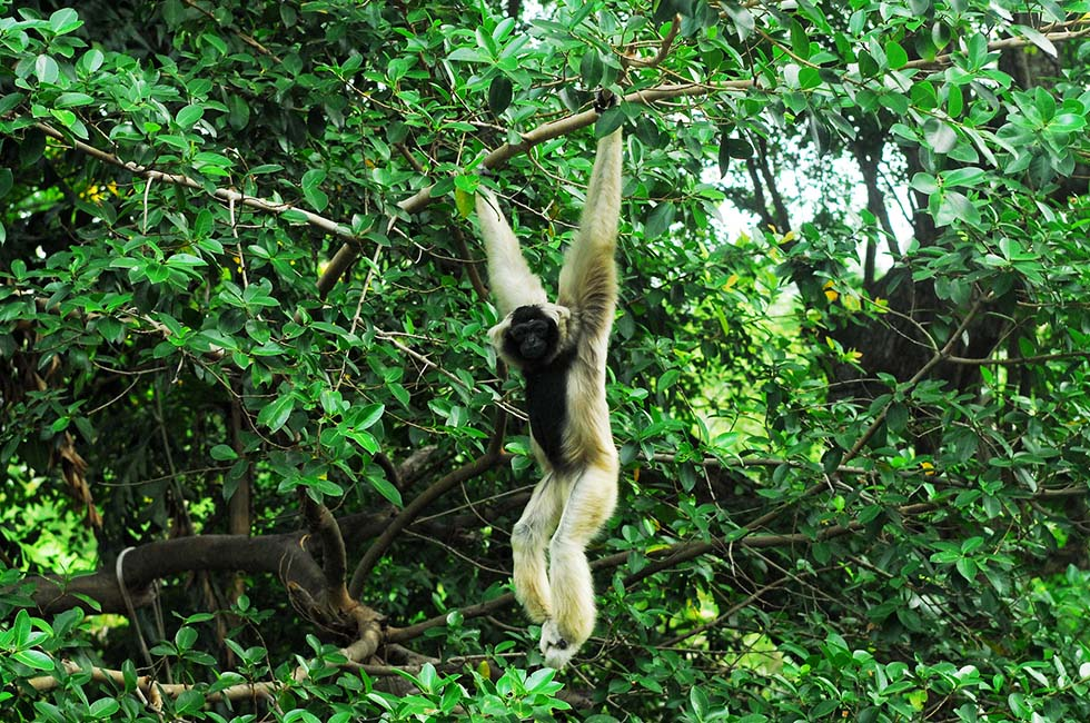 Wildlife Gibbon Khao Sok National Park