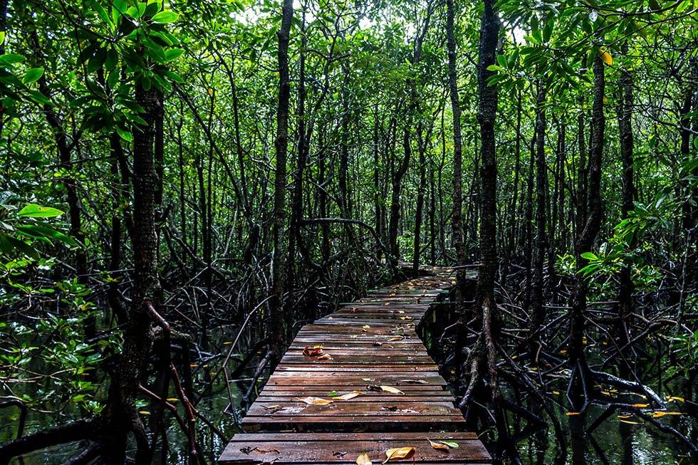 Het mangrovebos van Koh Tan