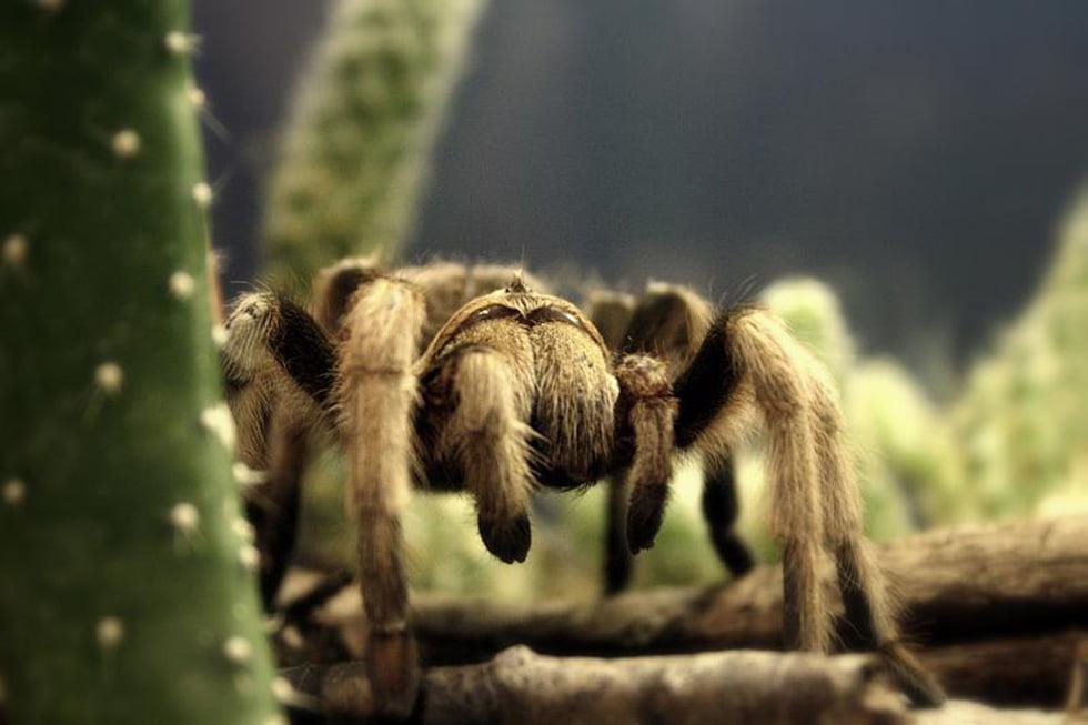 Tarantula. Foto: Christopher Woo
