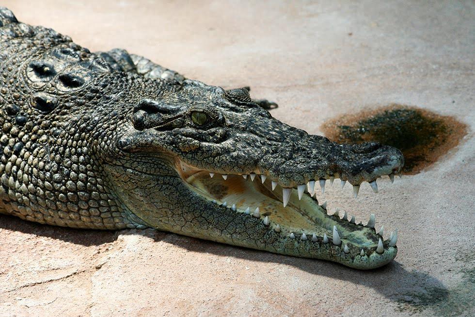 Krokodil. Foto: Wikimedia Commons