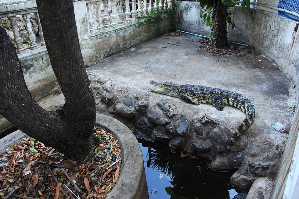 Krokodillen Chinatown, Bangkok
