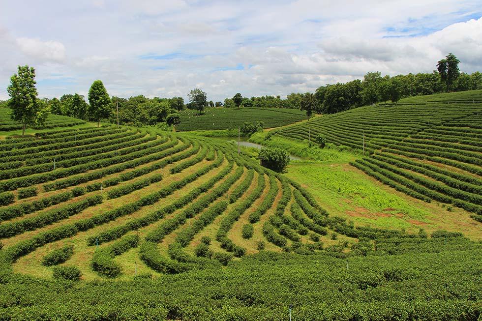 De groene theeplantages van Chouifong met de theeplukkers op de achtergrond aan het werk.