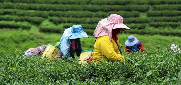 Theeplantage Chiang Rai
