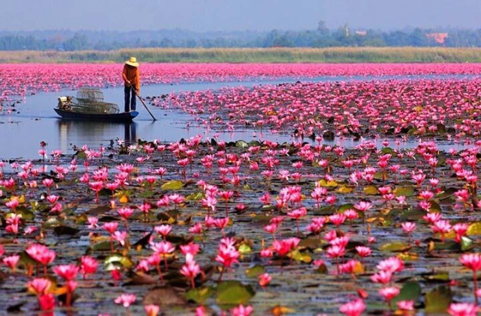 Udon Thani Lotusbloemen Thailand