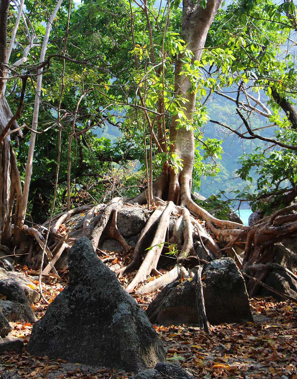 Bodhi bomen Surin