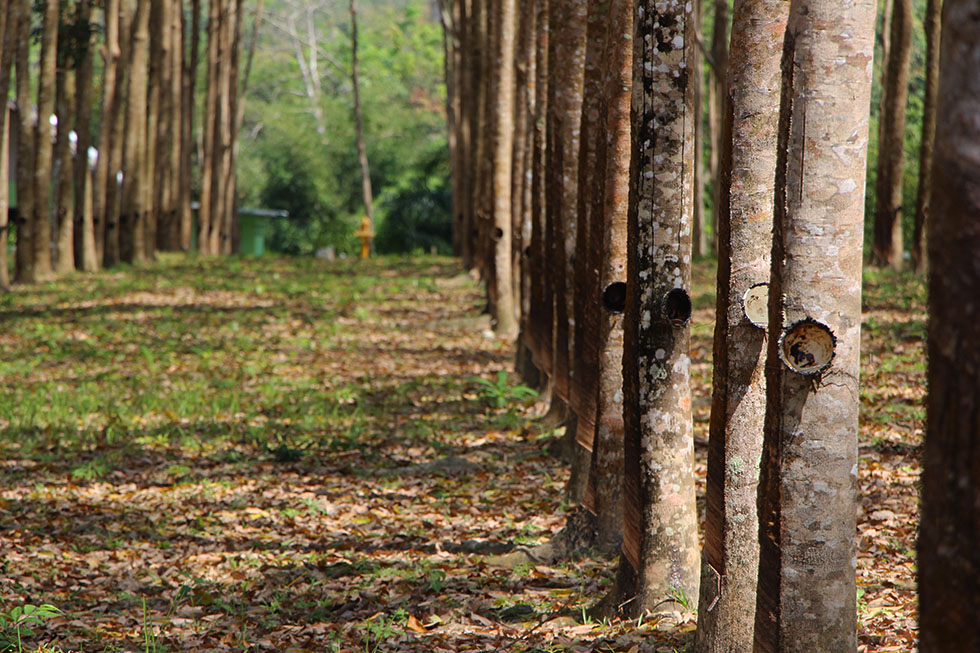 Rubberplantages Thailand Phang Nga