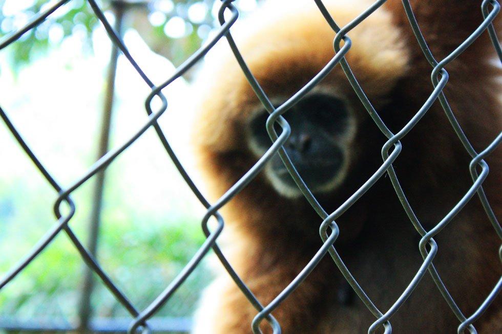 Gibbon Rehabilitation Project - Phuket bezienswaardigheden
