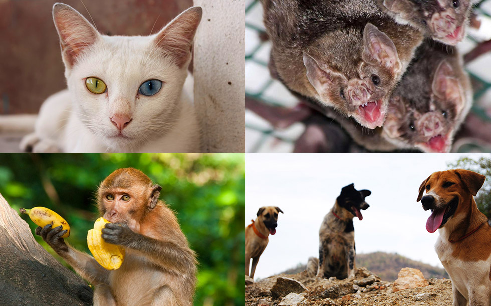 Rabies vaccinatie Thailand