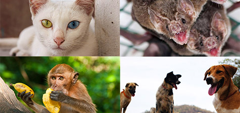 Hondsdolheid en Rabies Thailand