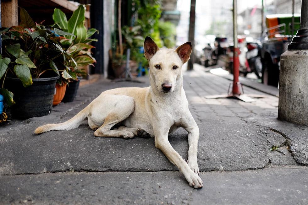 Bangkok sidewalk dog