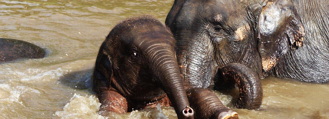 Olifanten voelen zich vrij in het Elephant Nature Park