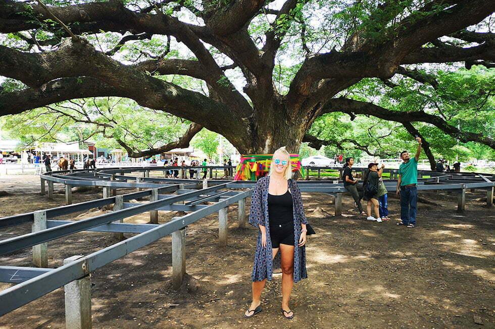 Giant Monkey Pod Tree